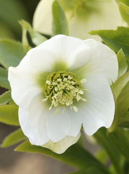 Helleborus orientalis (Witte kerstroos, Oosterse kerstroos)