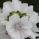 Witbloeiend kaasjeskruid (Malva moschata 'Alba') - p9