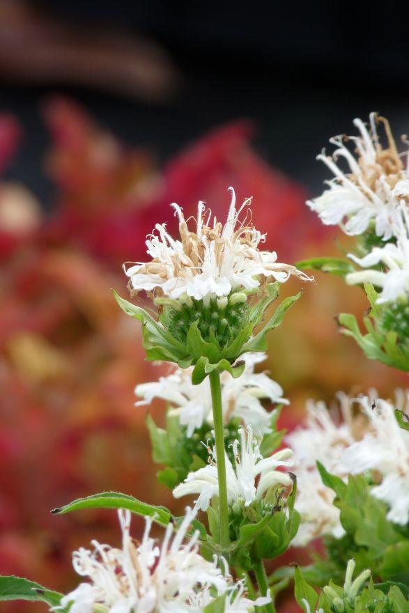 Monarda 'Schneewittchen' (Bergamotplant, Bergamot)