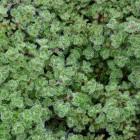 Thymus praecox 'Pseudolanuginosus' (Woltijm, Kruiptijm, Kleine tijm) - p9