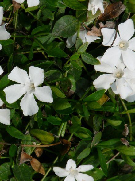 Vinca minor 'Alba' (Wit bloeiende Maagdenpalm)
