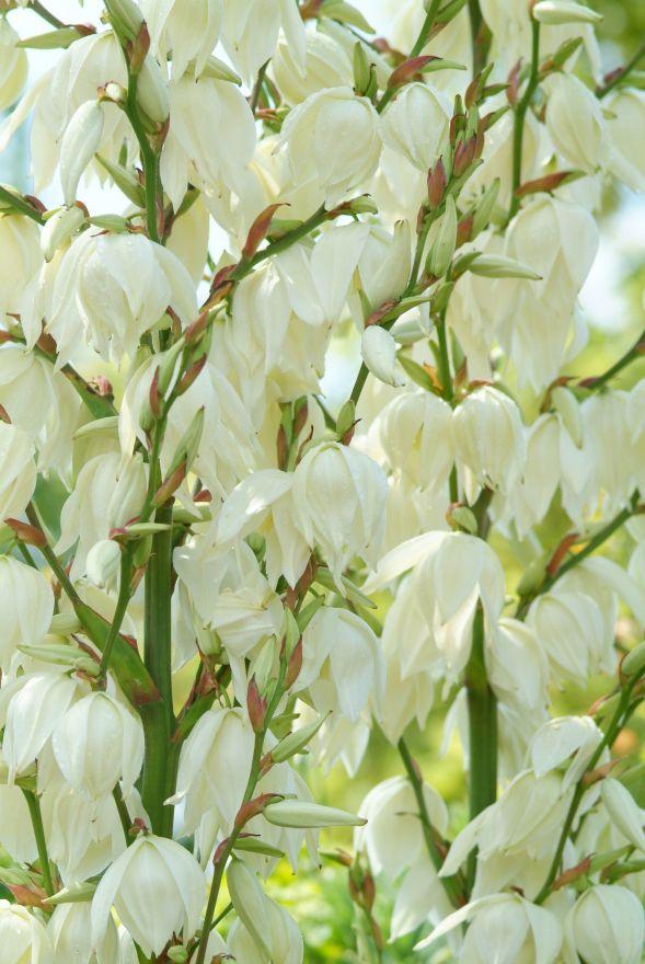 Yucca filamentosa (Palmlelie)