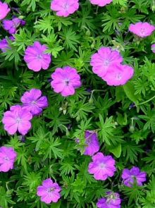 Geranium 'Tiny Monster' (Ooievaarsbek)