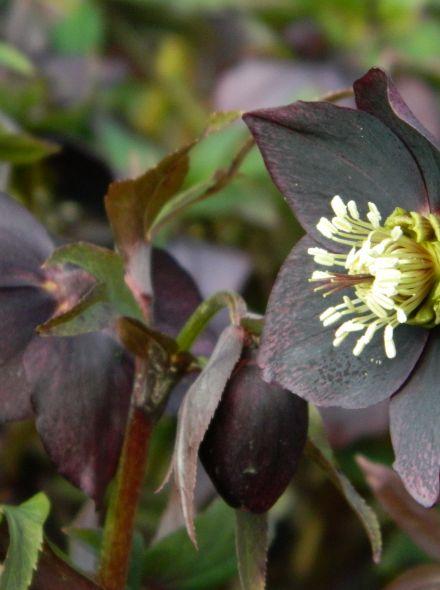 Helleborus orientalis (Purperzwart kerstroos, Oosterse kerstroos)