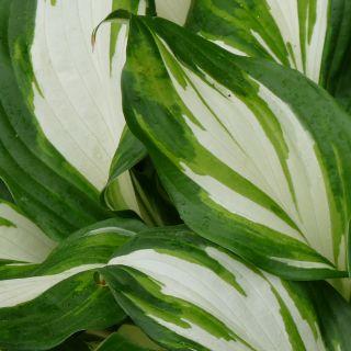 Hosta undulata Mediovariegata (bontbladige hartlelie, Funkien, Herzblattlilien, Hostas, Plantain lilies)
