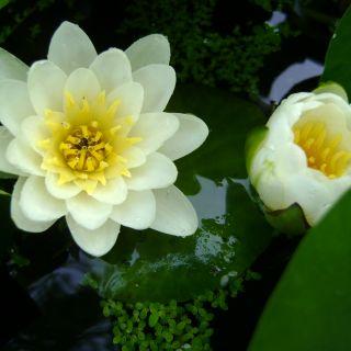 Nymphaea wit  (Witte Waterlelie) per stuk