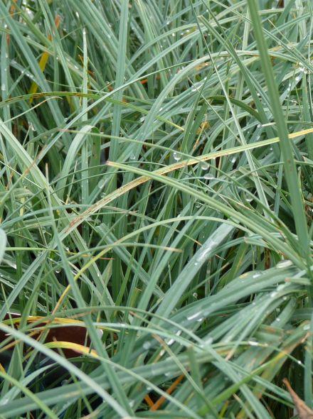 Carex panicea (Anjerzegge) per 3 stuks