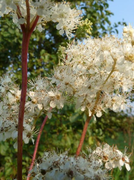 Filipendula ulmaria (Moerasspirea) per 3 stuks