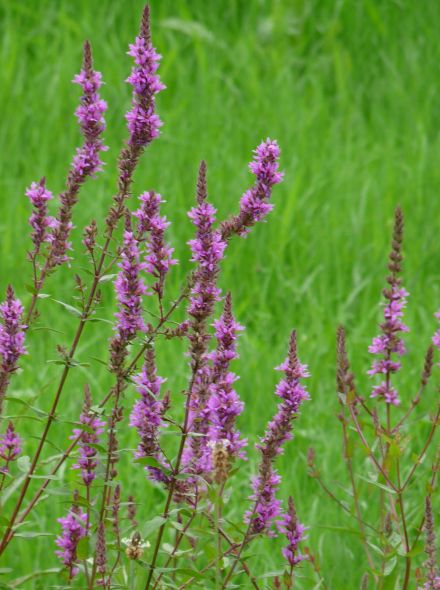 Lythrum salicaria (Grote kattenstaart)