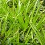Stratiotes aloides (Krabbescheer - Krabbenscheer) per 3 stuks