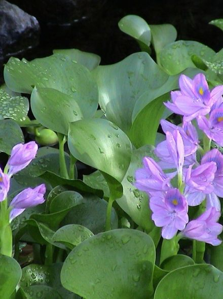 Eichhornia crassipes (Waterhyacint) per 3 stuks