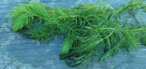 Ceratophyllum demersum (Hoornblad) per 5 bundels