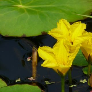 Nymphoides peltata (Watergentiaan) per 3 stuks