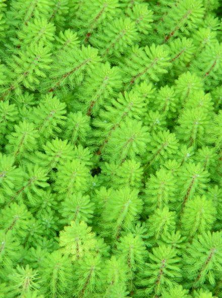 Myriophyllum spicatum (Aarvederkruid) per 5 bundels