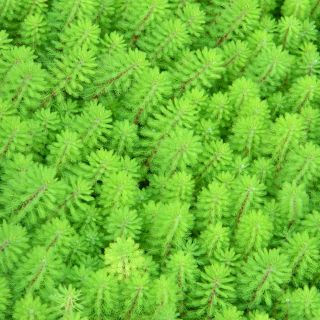 Myriophyllum Spicatum (Grof aarvederkruid) per 4 stuks