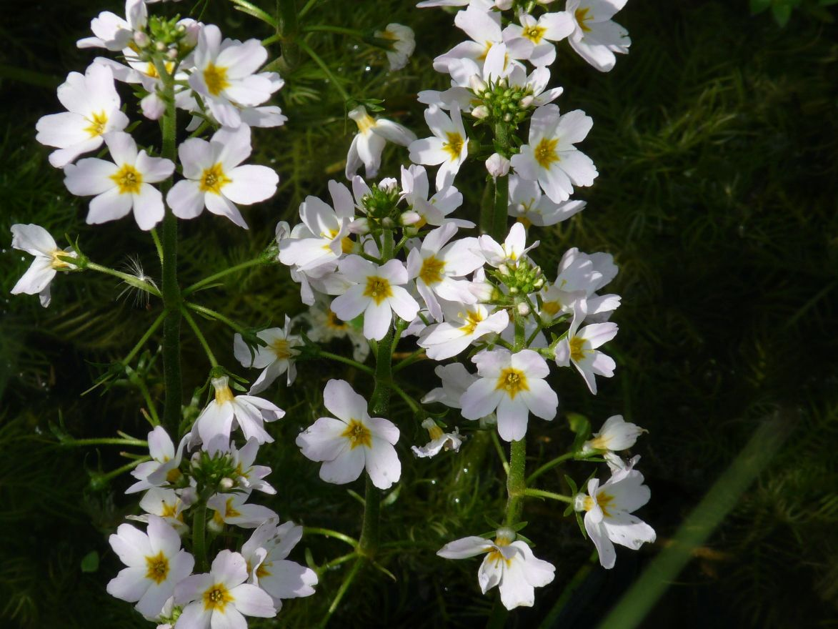 Hottonia palustris (Waterviolier)  per 4 stuks