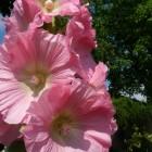Alcea rosea 'Pleniflora' - Roze (roze stokroos) per postpakket