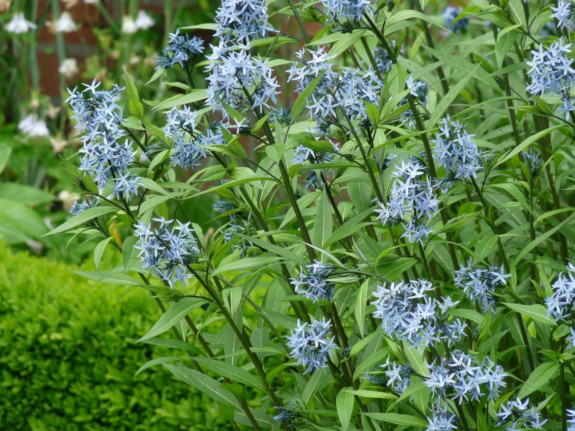 Amsonia hubrechtii (Stermaagdenpalm, Blauwe ster)
