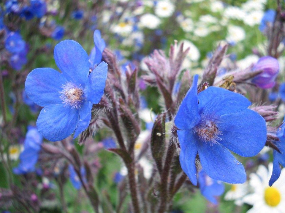 Anchusa azurea 'Dropmore' (Ossetong)