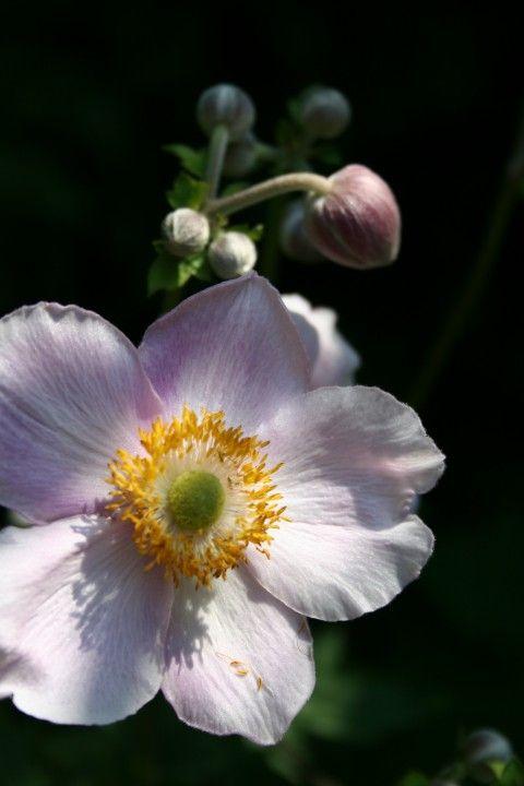 Anemone tomentosa 'Robustissima' (Herfstanemoon)
