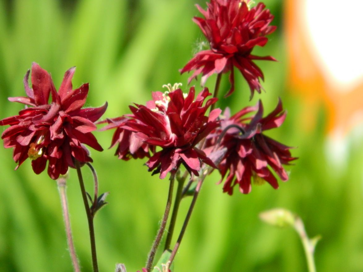 Aquilegia vulgaris 'Ruby Port' (Akelei)