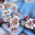 Prunus subhirtella 'Autumnalis Rosea' (Herfstbloeiende sierkers) 12-14 wrtg