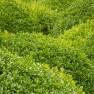 DCM Organische Meststof voor Buxus 750 gram (+/- 20 planten, Buxusmest)