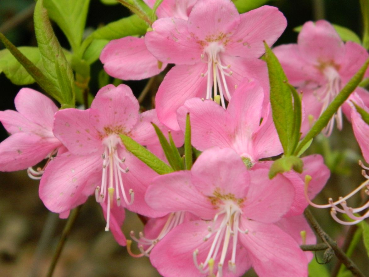 DCM Organische Meststof voor Rhododendron - Hortensia - Azalea 750 gram - +/- 25 planten (Bemesting)