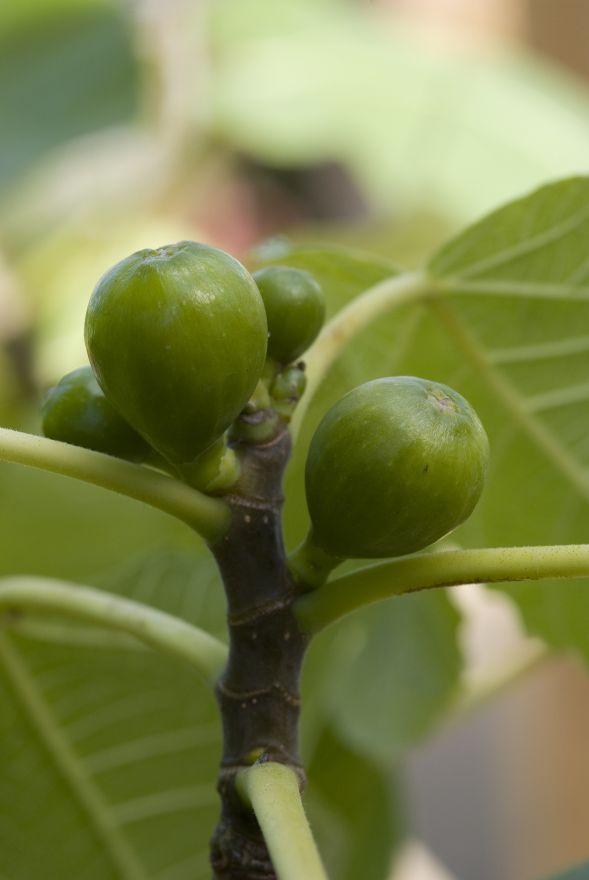 DCM Organische Meststof voor voor Olijven, Vijgen & Citrus 200 gram - +/- 5 planten