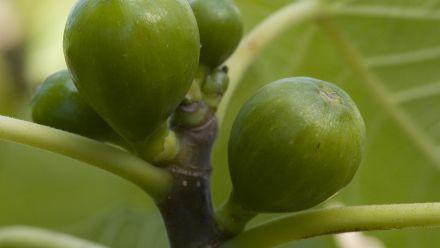 Vijgen (Ficus carica, Vijgenboom)