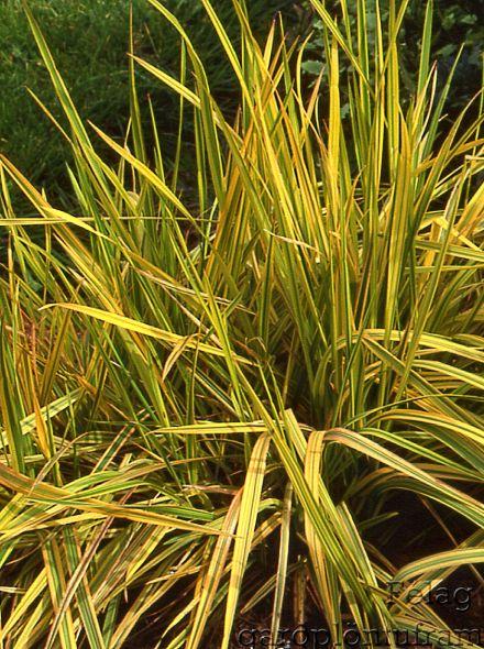 Alopecurus pratensis 'Aureovariegatus' (Goudvossestaart, Golden Foxtail Grass)