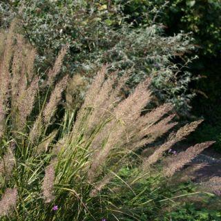 Calamagrostis brachytricha (Diamantgras)