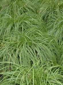 Carex caryophyllea 'The Beatles' (Zegge)