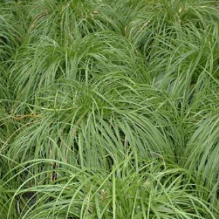 Carex caryophyllea 'The Beatles' (Zegge)