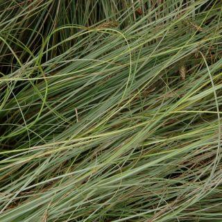 Carex comans 'Frosted Curls' (Smalbladige Zegge)