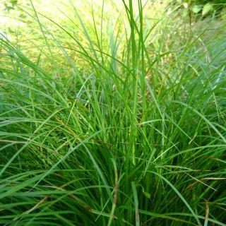 Carex morrowii 'Irish Green' (Japanse zegge, foliosissima)