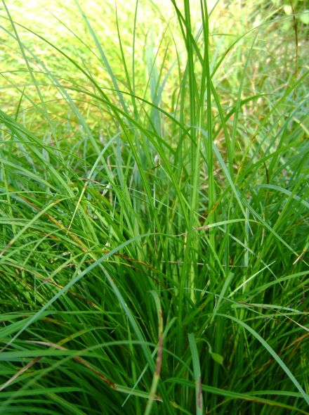 Carex morrowii 'Irish Green' (Japanse zegge, foliosissima)