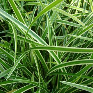 Carex morrowii 'Variegata' (Geelbonte zegge)
