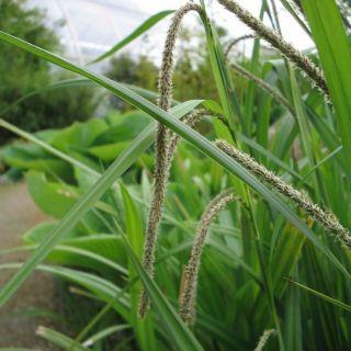 Hangende zegge (Carex pendula)