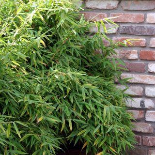 Fargesia murieliae  (fijnbladige bamboe, niet woekerende bamboe)