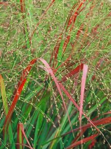 Panicum virgatum 'Squaw' (Vingergras, Pluimgierst, Switch grass)