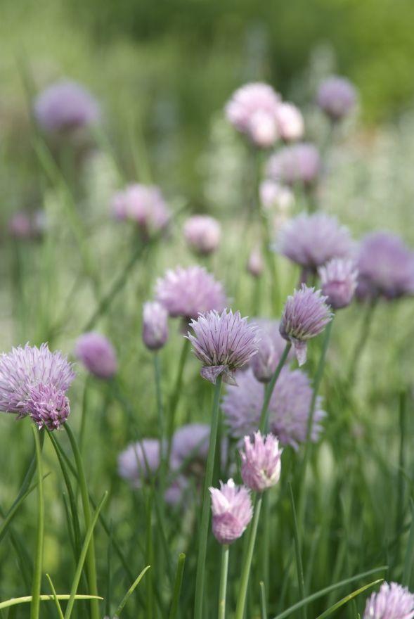 Allium Schoenoprasum (Bieslook, Schnittlauch, Cives)