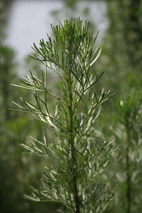 Artemisia abrotanum (Citroenblad, Citroenkruid)