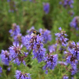 Hyssopus officinalis (hyssop - Ysop)