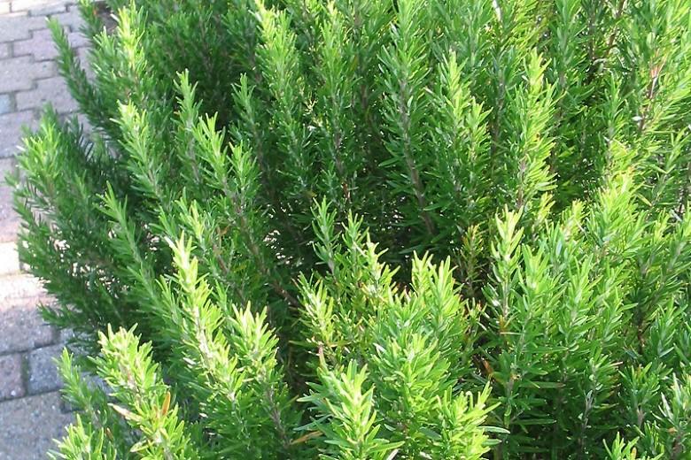 Rosmarinus officinalis (rozemarijn, Rosmarin, rosemary)