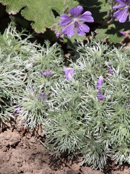 Artemisia schmidtiana 'Nana' (Alsem, bijvoet, edelruit)