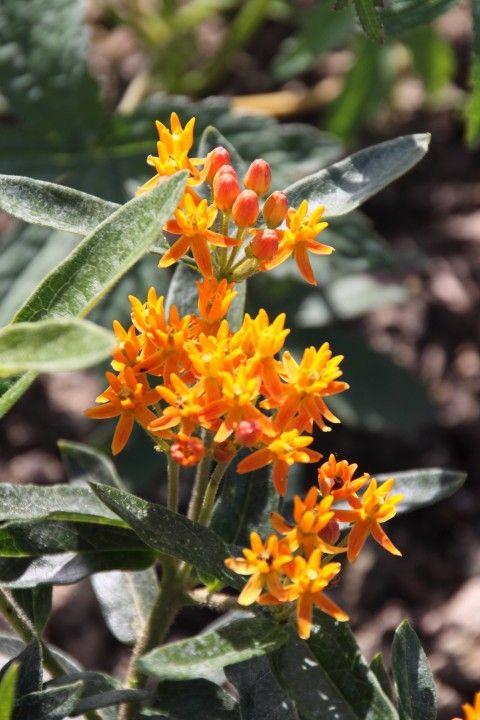 Asclepias tuberosa (Zijdeplant, Amerikaanse zijdeplant)
