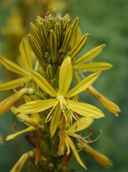 Asphodeline lutea (Jonkerlelie)