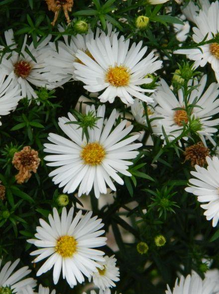 Aster novi-belgii 'White Ladies' (Aster, Herfstaster, Nieuw-Nederlandse aster)