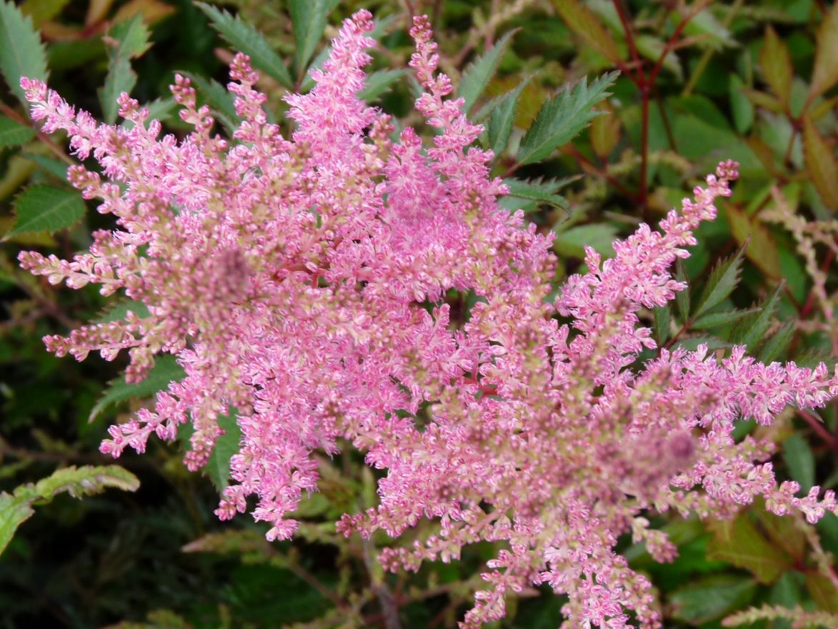 Astilbe simplicifolia Sprite (Pluimspirea, prachtspirea)
